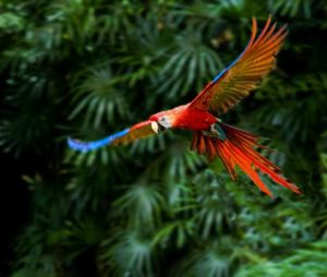 A Macaw captured in flight